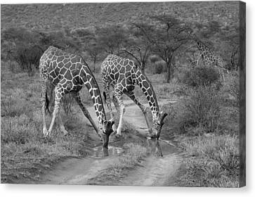 Drinking In Tandem Canvas Print by Michele Burgess