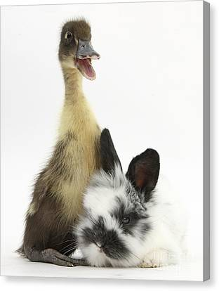 House Pet Canvas Print - Duckling And Baby Bunny by Mark Taylor
