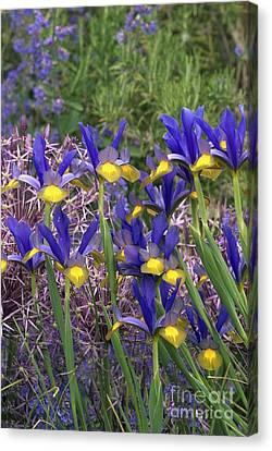Dutch Iris Iris Xiphium Canvas Print