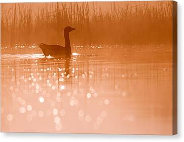 Duck Canvas Print - Early Morning Magic by Roeselien Raimond