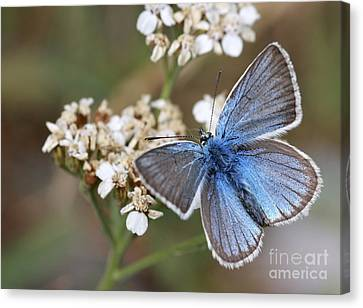 Eastern Baton Blue  Canvas Print by Amos Dor