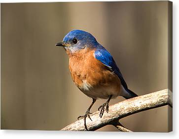 Eastern Bluebird Male 7 Canvas Print by Douglas Barnett