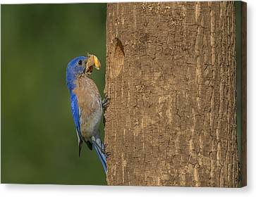 Eastern Bluebird  Canvas Print by Susan Candelario