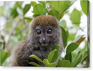 Eastern Grey Bamboo Lemur Canvas Print