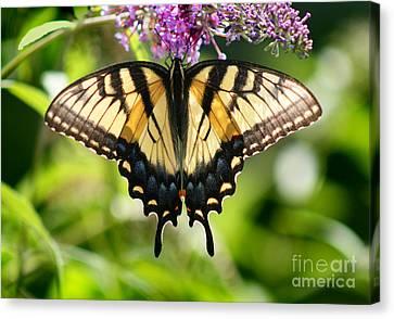 Eastern Tiger Swallowtail Butterfly Canvas Print by Karen Adams