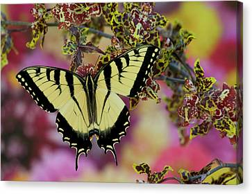 Tiger Swallowtail Canvas Print - Eastern Tiger Swallowtail Papilio by Darrell Gulin