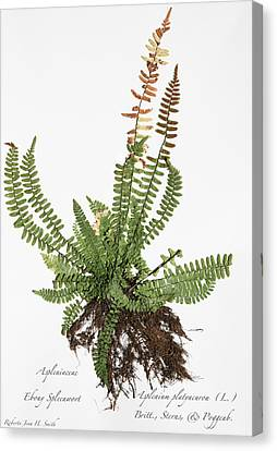 Ebony Spleenwort Canvas Print