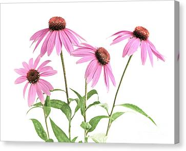 Coneflower Canvas Print - Echinacea Purpurea Flowers by Elena Elisseeva