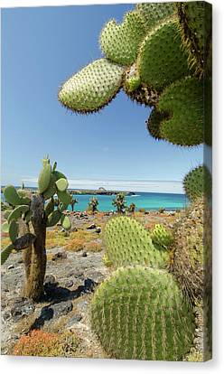 Ecuador, Galapagos, South Plaza Island Canvas Print by Cindy Miller Hopkins