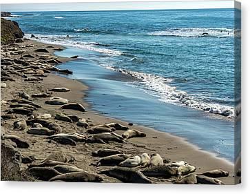 Elephant Seals On The Beach, Piedras Canvas Print