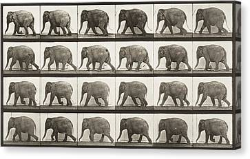 Elephant Walking Canvas Print by Celestial Images