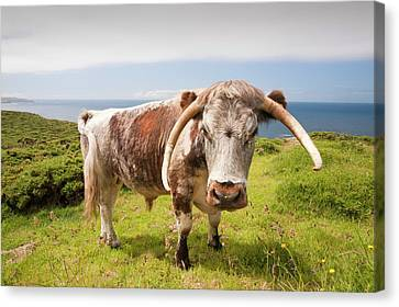 English Long Horn Cattle Canvas Print