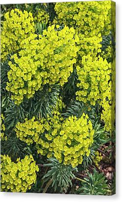 Euphorbia Characias Subsp. Wulfenii Canvas Print by Geoff Kidd
