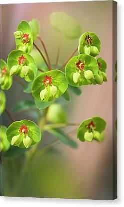 Euphorbia X Martinii Canvas Print by Maria Mosolova