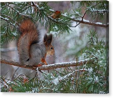 Eurasian Red Squirrel Canvas Print by Jouko Lehto