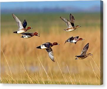 Eurasian Wigeons Canvas Print