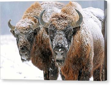 European Bison In Snow Canvas Print by Bildagentur-online/mcphoto-schulz