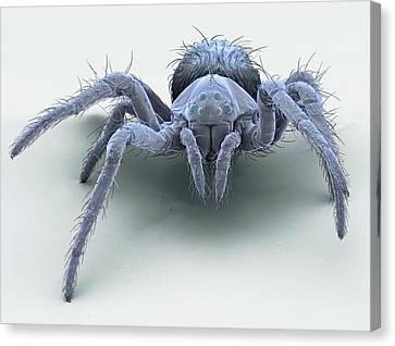 European Garden Spiderling Canvas Print by Steve Gschmeissner