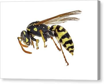 European Paper Wasp Canvas Print by F. Martinez Clavel