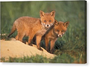 European Red Fox Cubs Canvas Print