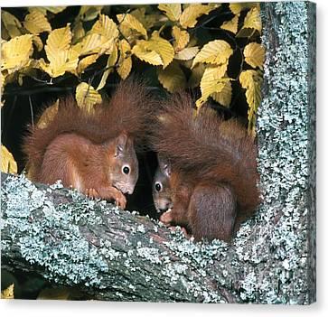 European Red Squirrels Canvas Print by Hans Reinhard