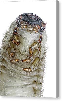 European Rhinoceros Beetle Larva Canvas Print by F. Martinez Clavel