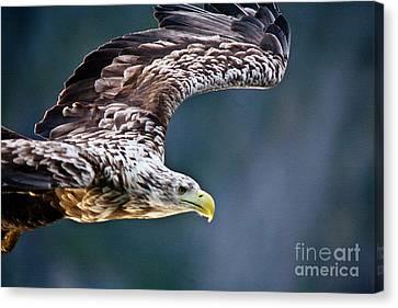 European Sea Eagle Canvas Print by Heiko Koehrer-Wagner