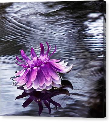 Evening Blossom Of  Victoria Regia. Royal Botanical Garden In Mauritius Canvas Print