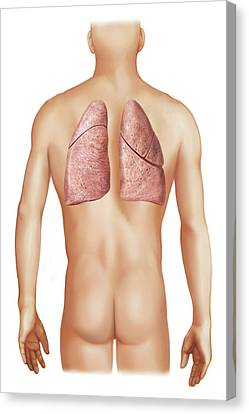 External Projection Of The Lungs Canvas Print by Asklepios Medical Atlas