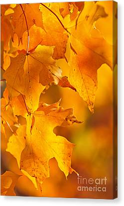 Fall Maple Leaves Canvas Print by Elena Elisseeva