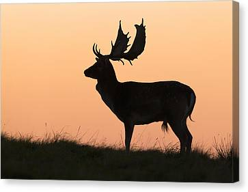 Fallow Deer Buck At Sunset Denmark Canvas Print