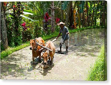 Farmer With Oxen Working In Paddy Canvas Print by Panoramic Images