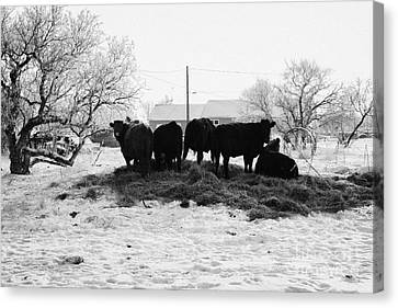 feed and fresh grass laid out for cows on winter farmland Forget Saskatchewan Canada Canvas Print by Joe Fox
