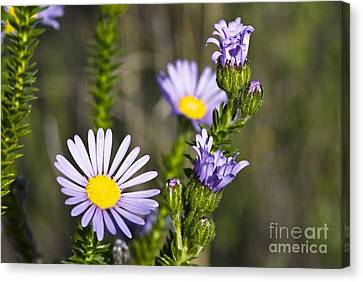 Felicia Felicia Echinata Flowers Canvas Print by Peter Chadwick