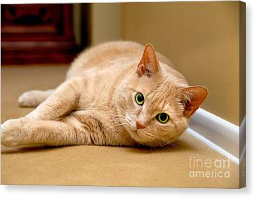 Feline Portrait Canvas Print by Amy Cicconi