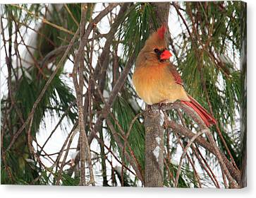Female Cardinal Canvas Print by Everet Regal