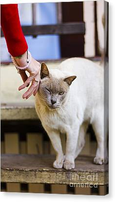 Female Cat Owner Patting Her Burmese Cat  Canvas Print