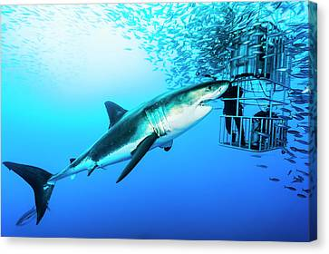 Cage Diving Canvas Print - Female Great White Shark, Carcharodon by David Doubilet