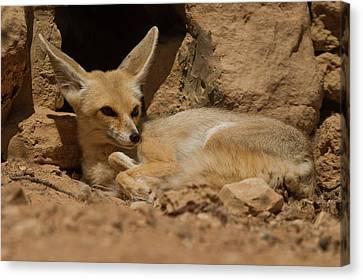 Large Mammals Canvas Print - Fennec Fox by Photostock-israel