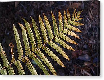 Fern Frond 1 Canvas Print by Douglas Barnett