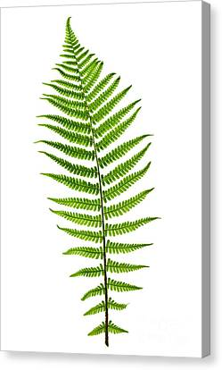 Leaves Canvas Print - Fern Leaf by Elena Elisseeva