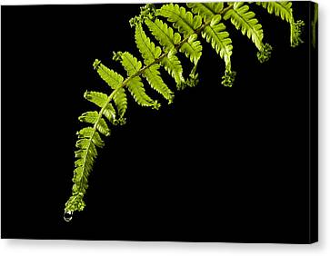 Canvas Print featuring the photograph Fern With Raindrop by Trevor Chriss