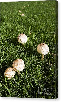 Field Of Mushrooms Canvas Print