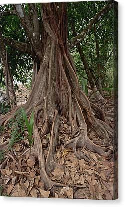 Fig In Tropical Rainforest Costa Rica Canvas Print