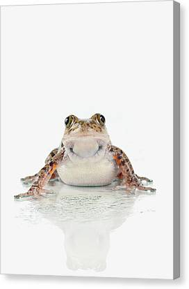 Fire-leg Walking Frog On White Canvas Print by Corey Hochachka