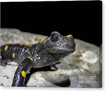 Fire Salamander Salamandra Salamandra Canvas Print by Shay Levy