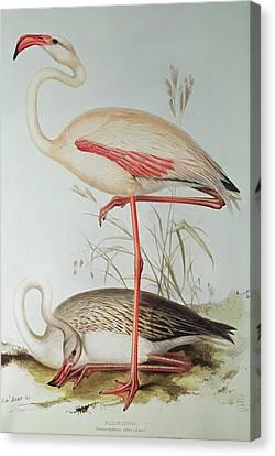 Flamingo Canvas Print by Edward Lear
