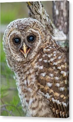 Fledgling Barred Owl (strix Varia Canvas Print by Chuck Haney
