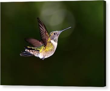 Flight Of A Hummingbird Canvas Print