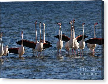 Flock Of Greater Flamingoes  Canvas Print by Sami Sarkis